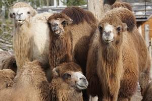 camel-1201810_960_720